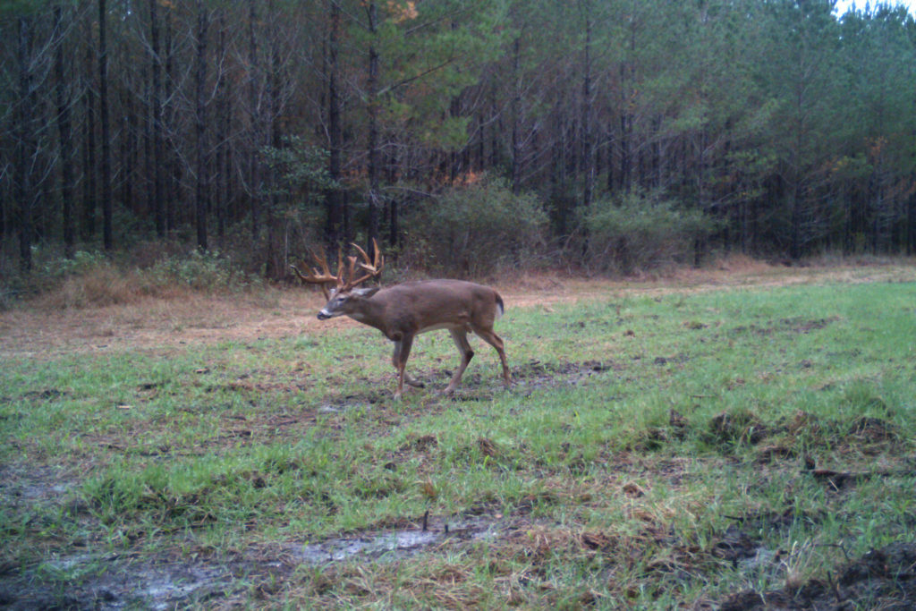 Side view of huge buck walking in front of pine trees in muddy grass